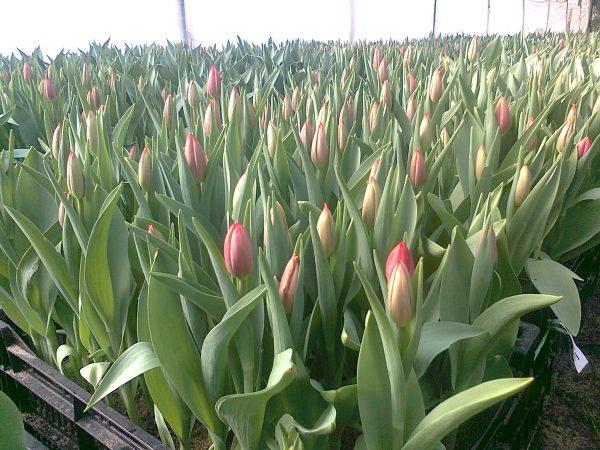Producción Nacional de Tulipán