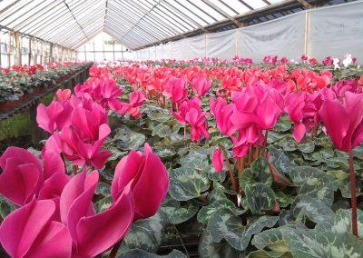 Producción Cyclamen en Flores Musacco