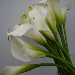 Mini Cala - Flores Importadas