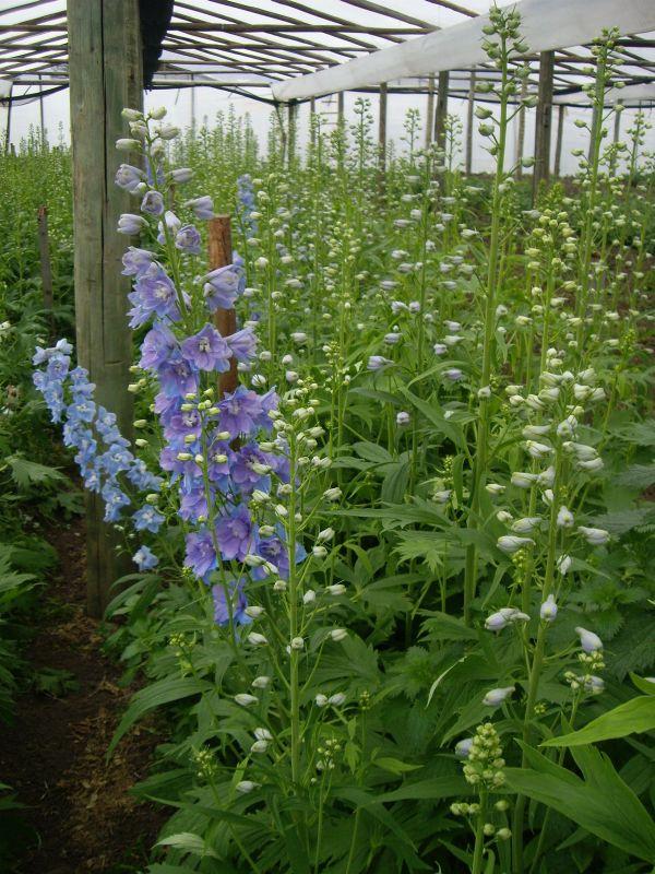 Delphinium - Producción de Flores Musacco