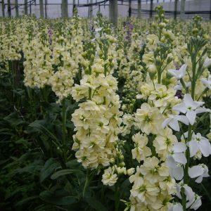 Aleli - Producción de Flores Musacco