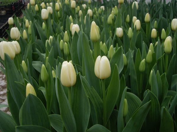 Producción Nacional de Tulipan
