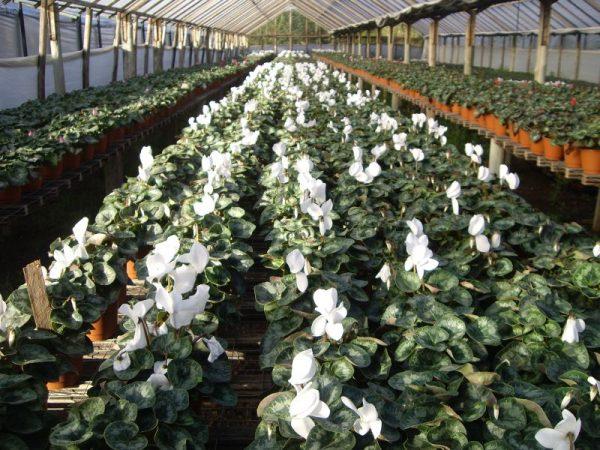 Gran cantidad y variedad de Cyclamen (Violeta de los Alpes) producido en Flores Musacco
