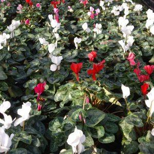 Producción Nacional de Cyclamen (Violeta de los Alpes) de Flores Musacco