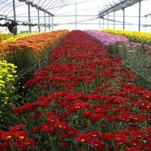 Felpilla de Flores Musacco