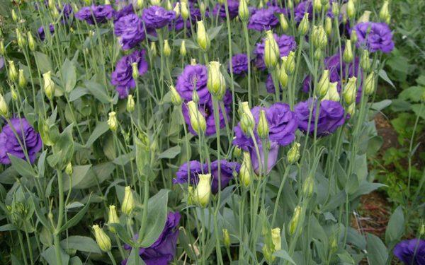 lisianthus flores