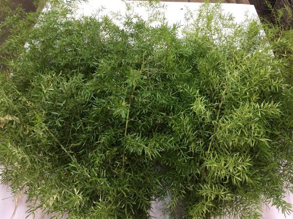 Asparagus Esprengery